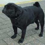 Pug_black_600