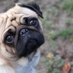 Modern day Pug