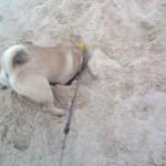 ziggy digging