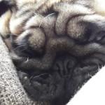The Pug Smell