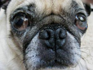 pug-nose-hyperkeratosis