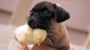 pug-and-chick